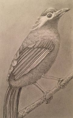 Pencil Drawing of a Bird